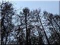 TF0820 : Treetops by Bob Harvey