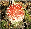 TQ1245 : Friday Street - Fly Agaric by Colin Smith