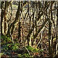 SK6441 : Sun on the hedge by Alan Murray-Rust