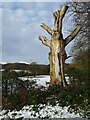 SO7739 : A dead tree beside Hancocks Lane by Philip Halling