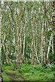 SK6268 : Lots of Birches by David Lally