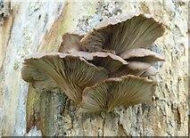 TQ9960 : Fungi on a dead tree, Syndale Park near Faversham by pam fray