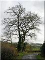 SO8894 : Farm road and oak tree near Spring Hill, Wolverhampton by Roger  Kidd