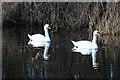NJ3462 : Mute Swans (Cygnus olor) by Anne Burgess