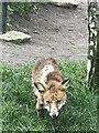 TQ3878 : Fox at Mudchute City Farm by Alison Nugent