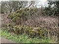 SJ6950 : Gorse bank near Wybunbury by Jonathan Hutchins