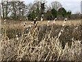 SJ7050 : Winter bulrushes near Wybunbury by Jonathan Hutchins