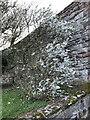 NU0052 : Cherry Plum in flower below Berwick-on-Tweed ramparts by Jonathan Hutchins