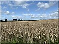 SJ8051 : Wheatfield near Bignall End by Jonathan Hutchins