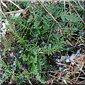 NJ2858 : Common Polypody (Polypodium vulgare) by Anne Burgess