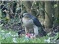 ST3086 : Sparrowhawk with prey, Newport by Robin Drayton