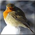 NJ3560 : Robin (Erithacus rubecula) by Anne Burgess