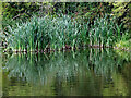 SO9186 : Reed bed by Delph Lock No 7 near Brierlwy Hill by Roger  Kidd