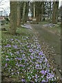 SE3130 : Hunslet cemetery - crocuses (1) by Stephen Craven