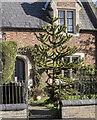 TF1258 : Monkey Puzzle tree, Timberland by Julian P Guffogg
