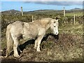 SM7323 : Welsh Mountain Pony by Alan Hughes