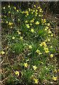 SX8574 : Wild daffodils near the Teign by Derek Harper