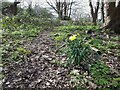 SE2535 : First woodland daffodil of spring by Stephen Craven