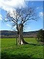 SO7943 : Dead oak tree by Philip Halling