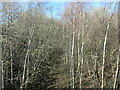 SE3620 : Silver birch in a railway cutting, north from the A655 overbridge by Christine Johnstone