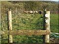 ST5448 : Livestock in field by Neil Owen