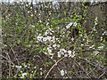 TF0820 : Prunus spinosa by Bob Harvey