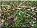 TF0720 : Wood Anemone by Bob Harvey