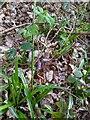 TF0820 : Hyacinthoides non-scripta by Bob Harvey