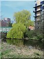 SE2933 : Weeping willow, Whitehall Riverside, Leeds by Stephen Craven
