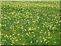 SO6730 : Field of wild daffodils by Philip Halling