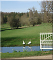 SP1404 : Swans by the Coln by Des Blenkinsopp