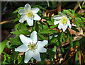NS3407 : Wood anemone by Mary and Angus Hogg