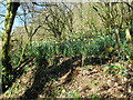SX4269 : Wild spring bulbs in Danescombe Woods by Roy Hughes