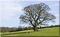 NZ0836 : Lone tree in field by Trevor Littlewood