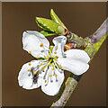 J5181 : Plum blossom, Bangor by Rossographer