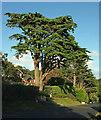 SX9264 : Cedar, Lydwell Road by Derek Harper