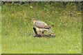 SK8770 : Sparrowhawk by Richard Croft