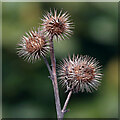 NT9561 : Burdock burrs at Burnmouth Hill by Walter Baxter