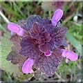 NJ3458 : Red Dead-nettle (Lamium purpureum) by Anne Burgess