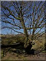 SE2064 : Oak tree growing out of a rock by Graham Hogg