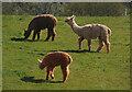SX8970 : Alpacas, Haccombe by Derek Harper