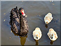 SD4214 : Black Swan with Cygnets by David Dixon