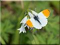 SD4314 : Orange Tip Butterfly by David Dixon
