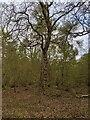 TF0820 : A gnarly oak by Bob Harvey