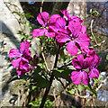 NJ3458 : Honesty (Lunaria annua) by Anne Burgess