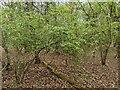TF0720 : Tiny Hawthorn by Bob Harvey