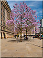 SJ8397 : Princess Trees in St Peter's Square by David Dixon