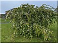 TF0820 : A mound of blossom by Bob Harvey