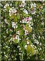 TF0820 : Crabapple blossom by Bob Harvey