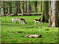 SJ7581 : Tatton Park, Deer Grazing at Saddleback Wood by David Dixon